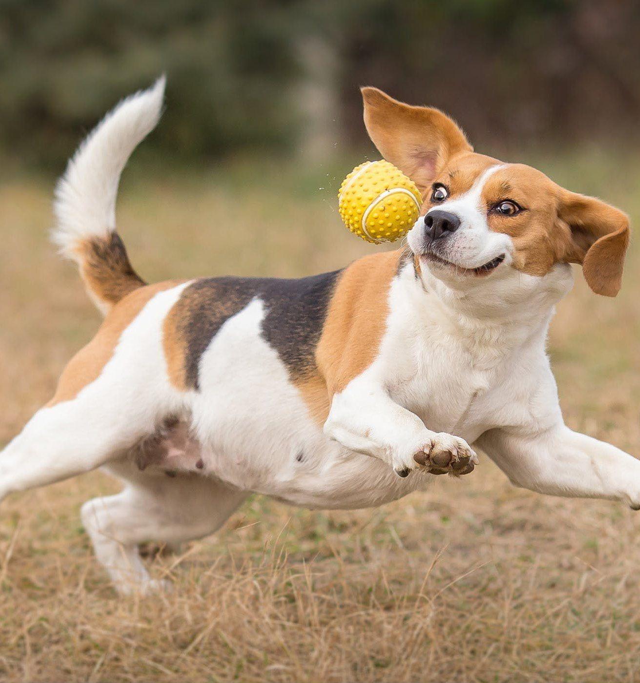 Fat Beagle