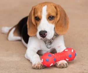 Best Toys for Beagle