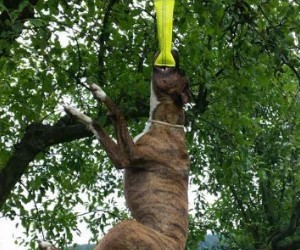 Outdoor Hanging Bungee Dog Toy by Bull Fit Store - Durable Spring Pole for Pitbull