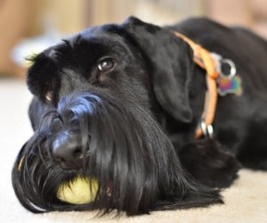 Collars for Giant Schnauzer