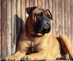 Bullmastiff brush